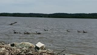 Geese on the Mississippi river in Iowa