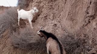 High Flying Goats Pack Goats in training