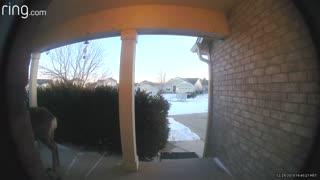 Curious Deer Rings Family's Doorbell