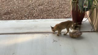 Bobcat Kittens Play Together on Patio
