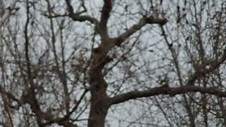 Thousands of blackbirds in our trees!