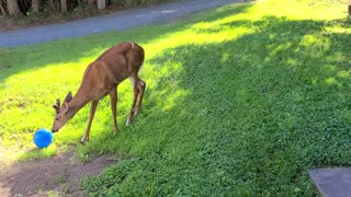 Wild deer incredibly plays with beach ball