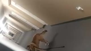 Owner pranks dog by not following her to the door