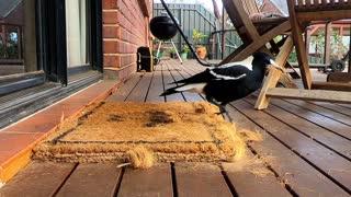 Magpie Destroys Doormat