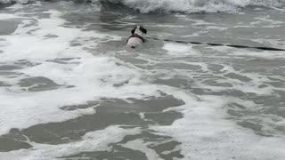 Surfer dog just loves jumping waves
