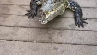A huge crocodile tries to attack a man