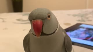 Talking parrot orders owner to come to him for a kiss