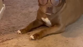 Silly sophisticated Dog