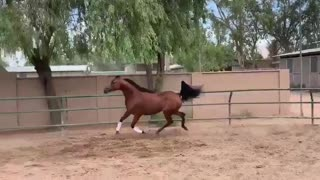 Arabian Horse In Playful Mood