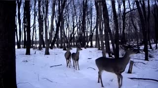 Female Deer with Grown Fawns!