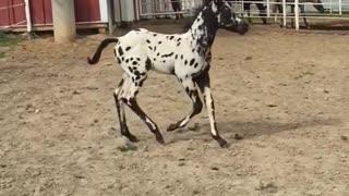 Slow-mo baby horse