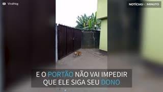 Cão pula portão com mais de 2 metros para seguir o dono