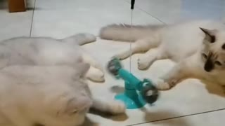 Two cats playing together with one toy