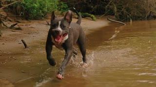 Big Pitbull Dog Run into the Water