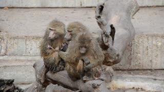 monkey mother family