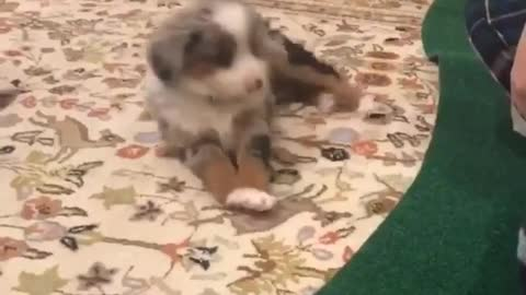 Sleepy puppy is way too tired to play