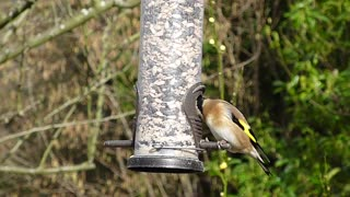 Wonderful home for goldfinch birds in nature