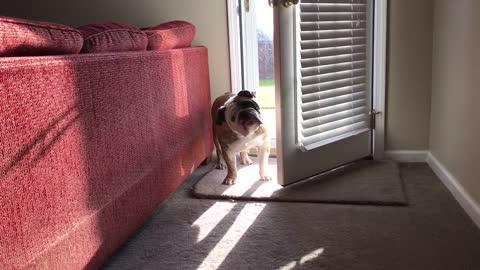 Bulldog Is Done Waiting For Walk