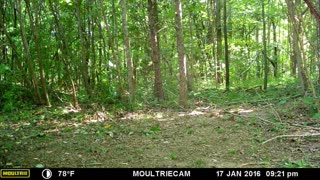 Whitetail Fawns in the Woods