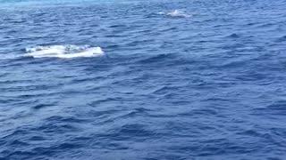 Beautiful dolphins Maldives