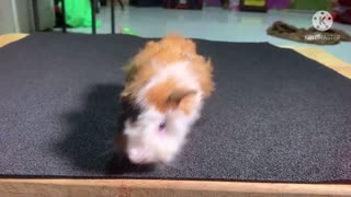 Most Beautiful Rescue animal guinea pig