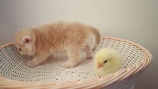 Kittens walk with chicks