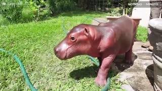 Conheça o incrível mundo dos hipopótamos