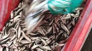 Small Fish Re-bag