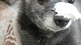 Funny Dog Eating Whip Cream