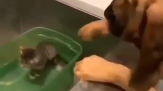 Dog adopts Kitten, SO CUTE