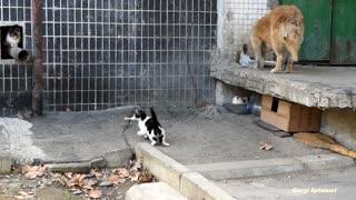 Brave Kitten Steals Food From Wild Dog Twice!