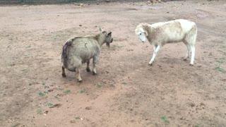 Una cabra peleando contra una oveja