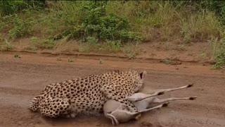 leopard surefire attack