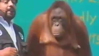 Orangutan show