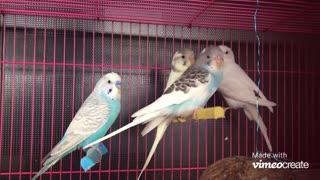 BEAUTIFUL LOVE BIRD'S