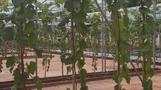 Growing grapes in Vietnam