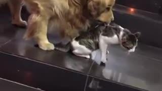 Golden Retriever and cat friends
