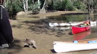 Funny Koala is Rescued from a Flooding River