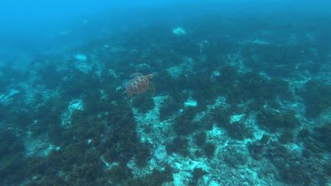 Hawksbill sea turtle in the Sea 6 - man & camera