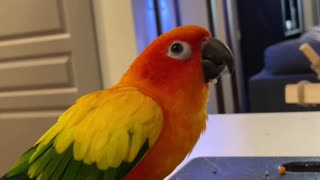 Parrot loves banana, does happy dance while eating it