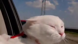 the white cat leaned out of the window