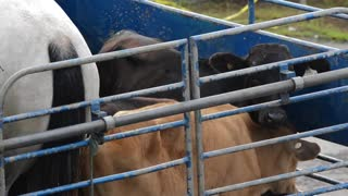 Two calfs Stuck With Horse In Metal Fence