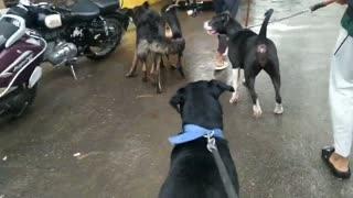 Rottweiler dobermen pitbull German Shepherd vs street dog