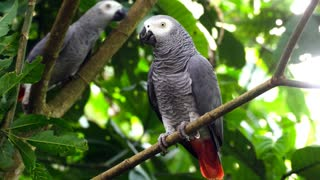 African Grey Parrot sound effects