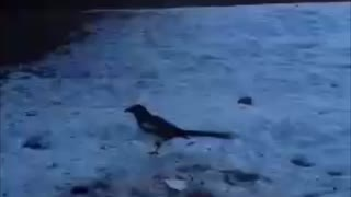My friends ( Magpie birds ) are feeding daily