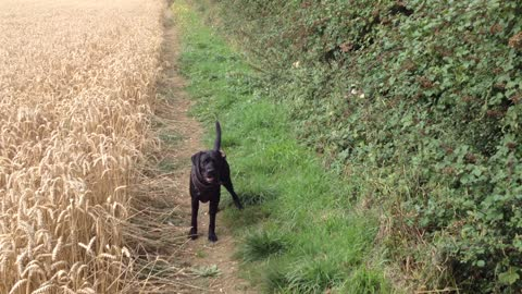 Dog playing fetch in a wheat field takes game to the next level