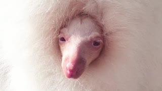 Albino Wallaby Wakes from Nap
