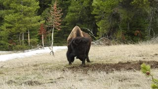 Bison Adorably Plays with a Branch
