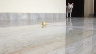 cute white dog playing with toy