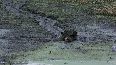 Large Turtle going through the mud. Florida dry season